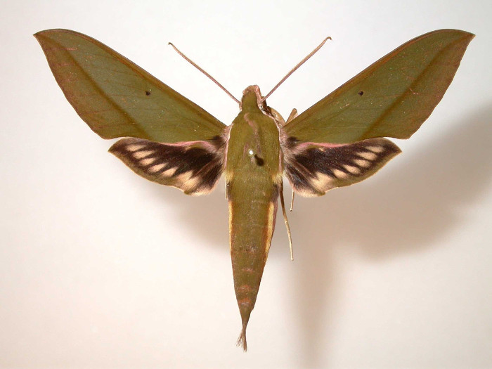 A butterfly species he discovered, named after him. Claudine Schwartz